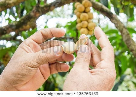 The male hand is picking the fresh Langsat