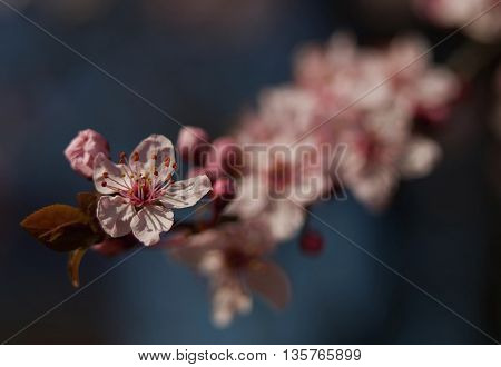 Pink sakura blossom on a branch on blue background.