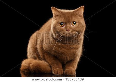 British Cat Cinnamon color Sitting and Curious Looks Isolated Black Background Front view