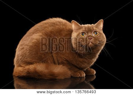 British Cat Cinnamon color Lying and Curious Looking up Isolated Black Background Side view