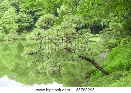 Pinus Thunbergii Trees, Reflection On Water Pond