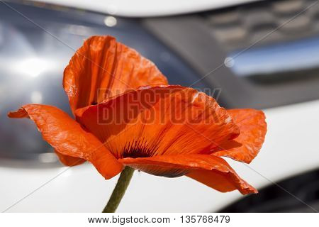 Poppy flower close-up on the white car's background