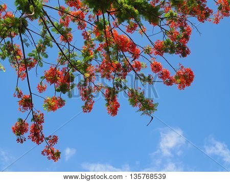 Beautiful red and orange Peacock flower on tree against with clear blue sky as background (selective focus).