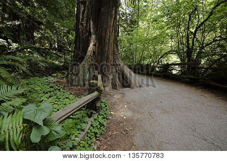 Giant redwood taking over quiet path in the Muir Woods