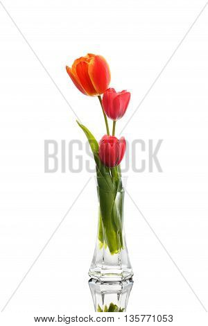 Gentle Three Tulip in Vase Isolated on White Background