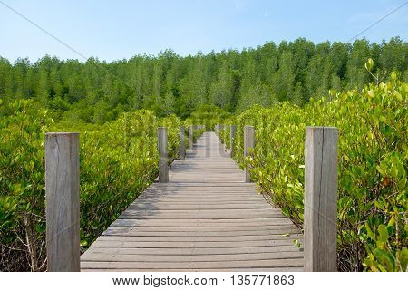 Wooden walkway bridge surrounded with Ceriops Tagal field in mangrove forest it called