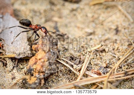 Natural animal background with red ant in an anthill closeup performing work