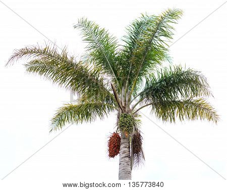 palm isolated in white background horizontal photo