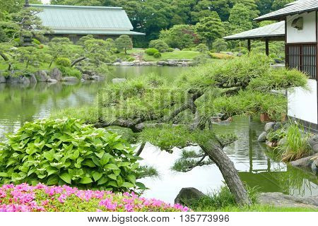 Pinus Thunbergii And Japanese Traditional Pavilion Building