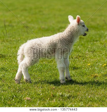closeup of bleating newborn lamb standing on meadow