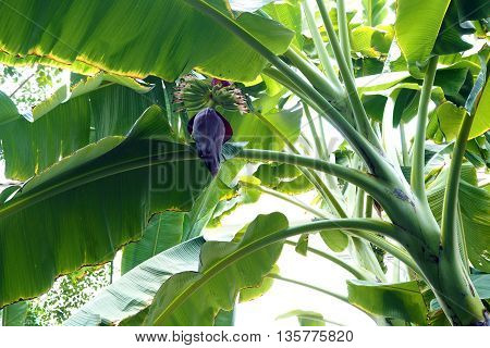 Banana flower and Banana leaf in Garden