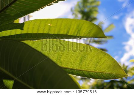 Beautiful green leafs with texture detail in cleaning blue sky