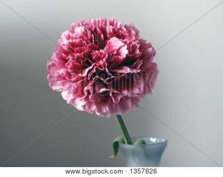 Carnation #1
