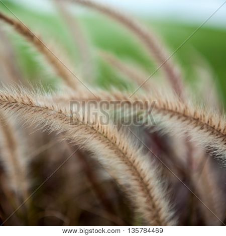 fluffy grass, natural floral background for wallpaper