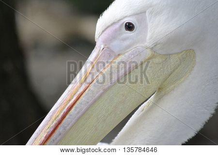 Pelican head profile close-up with a big beak
