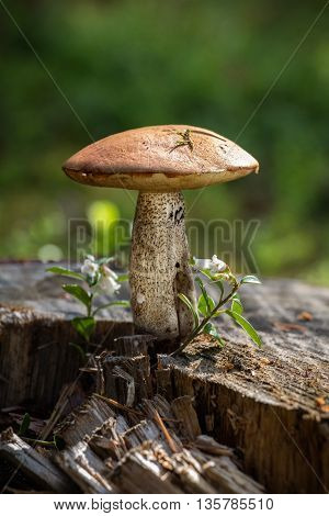 Beautiful mushroom boletus growing on a large stump in a pine forest