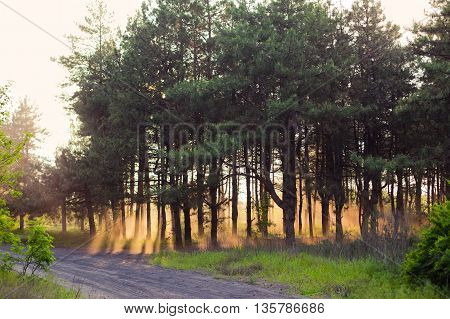 Sunset in the green fir forest. Orange warm in the trees. Calm landscape, horizontal photo