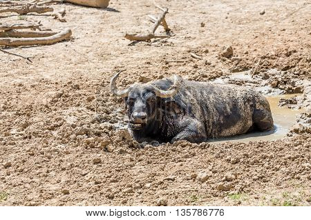Cape Buffalo Resting in a Mud Hole in the dirt