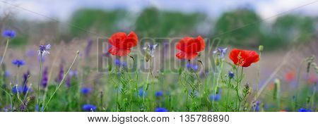 A Panorama Poppies corn poppy field flowers