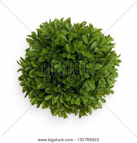 Green Buxus Ball