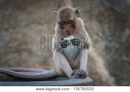 Monkey eating a fruit snack against blurred background