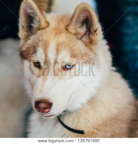 Close Up Head Young Happy Husky Puppy Eskimo Dog With Multicolored Eyes