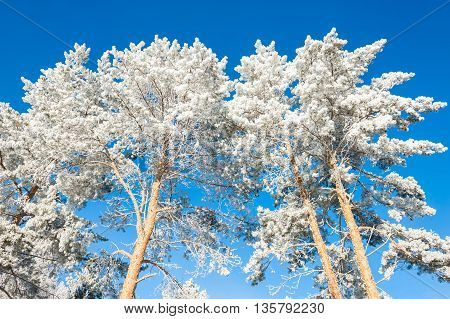 Winter Trees In Hoarfrost Against The Blue Sky