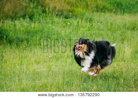 Shetland Sheepdog, Sheltie, Collie. Play With Plate Outdoor In Summer Grass At Evening. This Breed Of Herding Dog. They Are Vocal, Excitable, Energetic Dogs Who Are Always Willing To Please And Work Hard