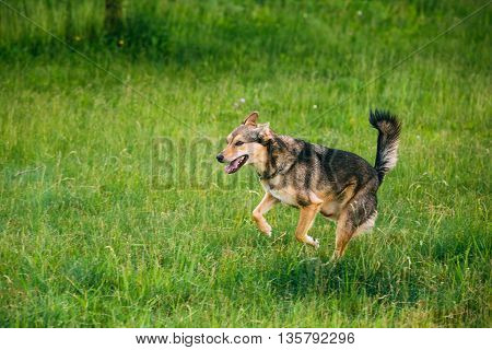 Mixed Breed Medium Size Three Legged Dog Play Outdoor In Summer Grass. Running Happy Dog