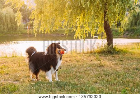 Shetland Sheepdog, Sheltie, Collie. Play With Ball Outdoor In Summer Grass At Evening. This Breed Of Herding Dog. They Are Vocal, Excitable, Energetic Dogs Who Are Always Willing To Please And Work Hard