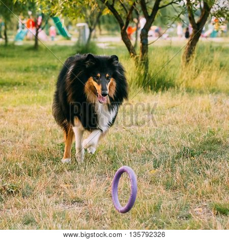Shetland Sheepdog, Sheltie, Collie. Play With Ring Outdoor In Summer Grass At Evening. This Breed Of Herding Dog. They Are Vocal, Excitable, Energetic Dogs Who Are Always Willing To Please And Work Hard