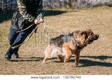 Angry German shepherd dog training. Biting dog. Alsatian Wolf Dog. Deutscher, dog