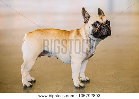 Dog French Bulldog indoor. The French Bulldog is a small breed of domestic dog.