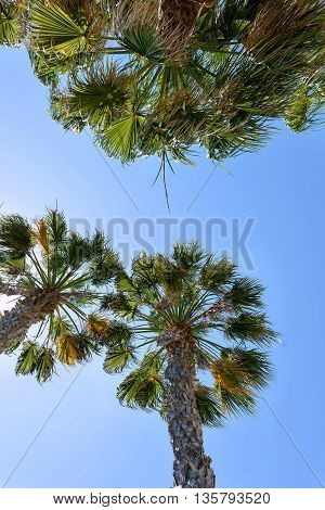 Palm trees with sun and blue sky in protaras beach cyprus island bottom to top view