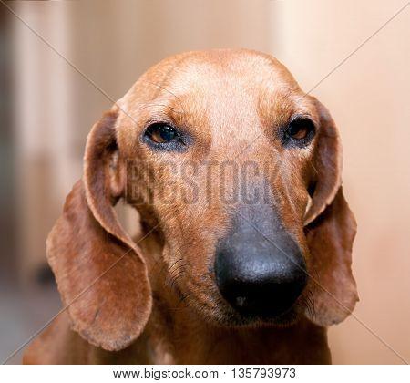 Muzzle breed of hunting dog dachshund with sad eyes