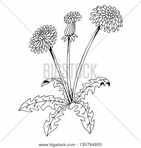 Taraxacum dandelion flower graphic art black white isolated illustration vector