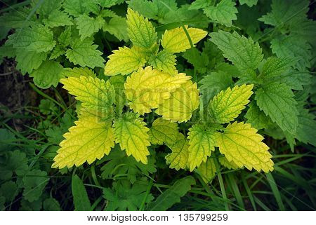 Green stinging nettle (urtica dioica) closeup natural background