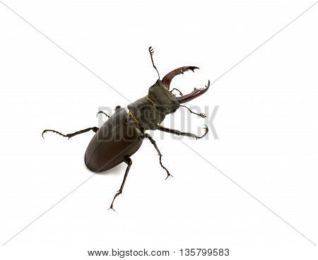 Stag beetle isolated on white background.Horn stag beetle r closeup on a white background