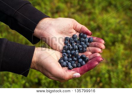 A handful of beautiful ripe sweet blueberries lies in the hands of women