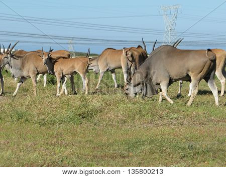 Herd Of Eland, Koeburg Nature Reserve, Cape Town South Africa 08