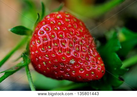 a luscious red, ripe strawberry ready to be picked