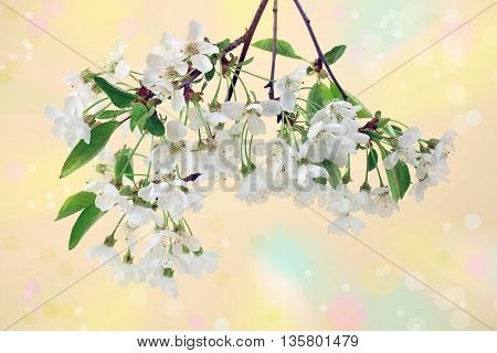 The branch of blooming white cherry on blurred background with bokeh. Spring. Love.