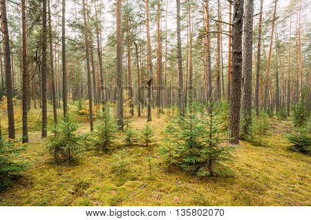 Pine Trees In Coniferous Forest Reserve Park. Nature Of Evergreen Coniferous Forest. Scenic View. Nobody