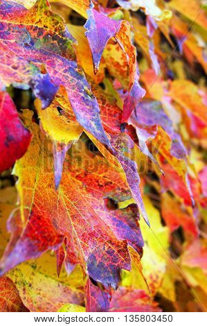 Bright autumn leaves, painted in different colors