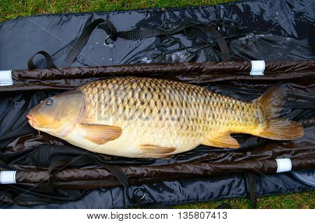 Close up on large dead carp fish on brown and blue tarp. Carp are an invasive species in North America.