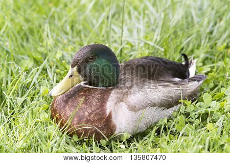 Duck close up image on green grass