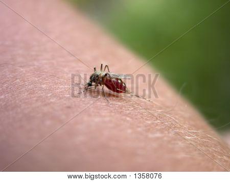 Mosquito On My Hand.