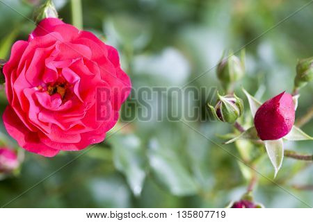 Rose and rose buds in the garden over natural background after rain