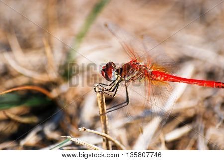 Red dragonfly macro image. Dragonfly on stick