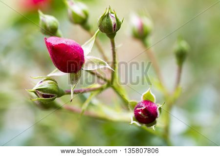 Rose buds in the garden over natural background after rain
